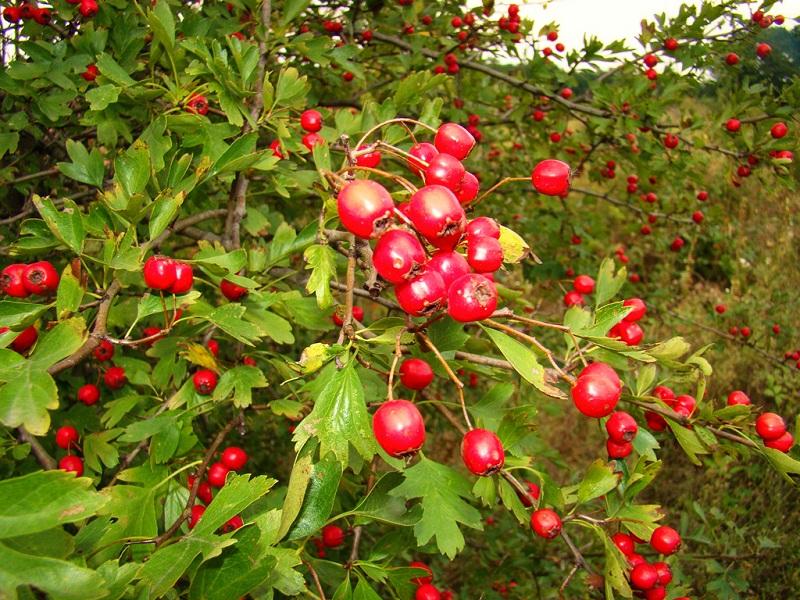 Fructe de paducel