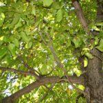 Planteaza un nuc. 6 motive importante
