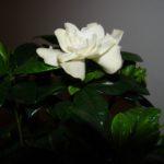 Floarea simpla a iubirii: Gardenia