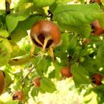 Mosmoanele, ultimele fructe ale anului: Ciudate dar extrem de gustoase si aromate