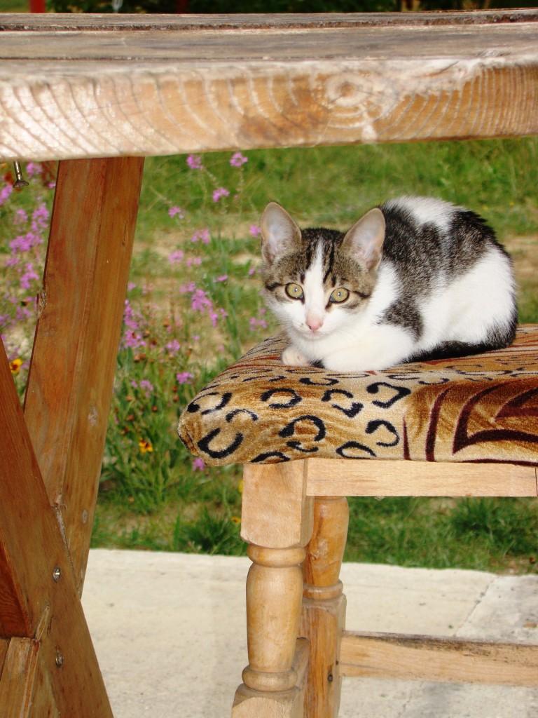 Kitty pisicuta