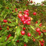 O farmacie intr-un arbust: Paducelul