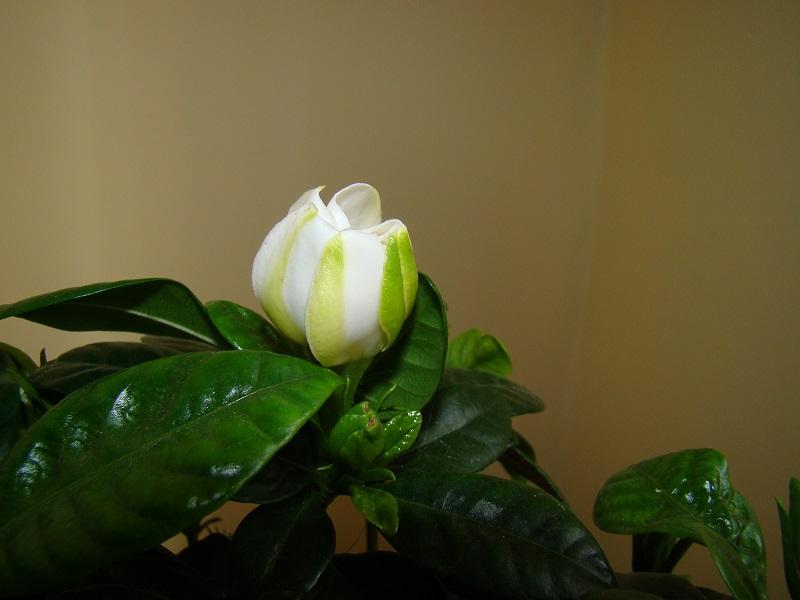 boboc de gardenia