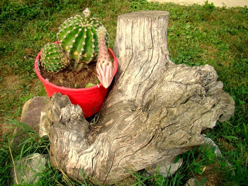 Boboc de cactus