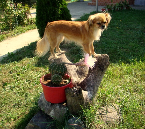 Pazitoarea florii de cactus