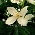 Mireasma copilăriei din grădina ta: Lămâița