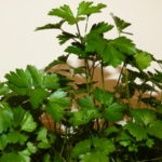 Pătrunjelul din fereastră: Cultivă planta care iți va face zilele aromate