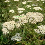 Coada șoricelului: Planta miraculoasa cu nume distractiv și proprietați vindecatoare