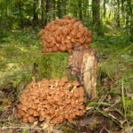 Ce stii despre ghebe, ciupercile senzationale pe care ni le-a daruit natura?