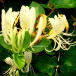 Stii ce este caprifoiul, planta cu parfum ametitor, simbol al iubirii trainice?