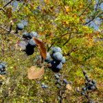 Poroambele: Fructele albastre ale toamnei târzii, între traditie si beneficii
