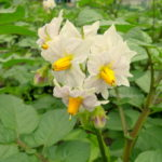 Flori de cartof