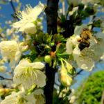 Florile de cireș din gradina mea