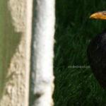 Pasăre neagră