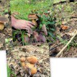 Chiftele din mânătărci prrroaspete și migdale zdrobite: Aromele sălbatice in farfuria ta