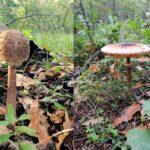 Ciuciulanii de la Gorj: Frumusețile extra-gustoase ale pădurilor