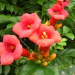 Bignonia, simbolul dragostei și al bogăției: Frumusețea florală din parcuri și grădini